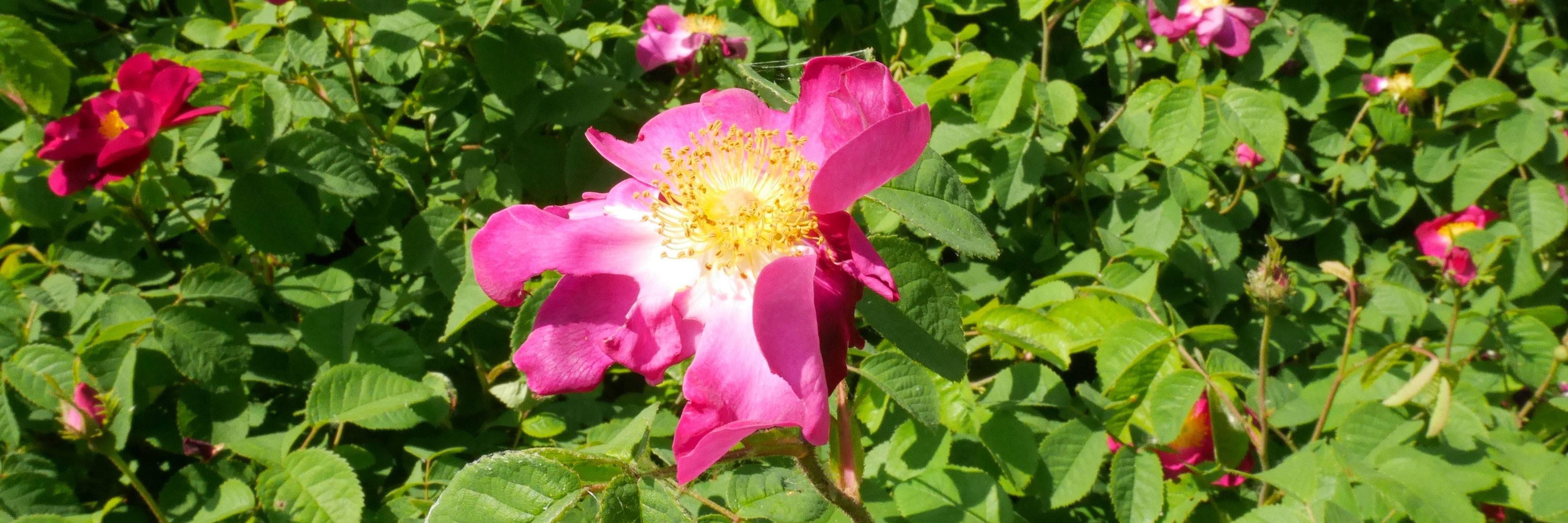 Découvrez nos collections de roses et de rosiers