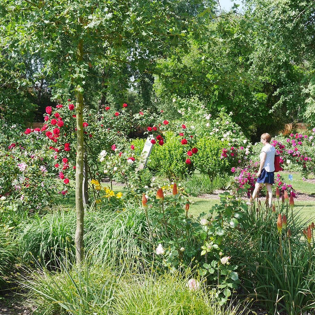 Découvrez les rosiers et variétés de roses en groupe
