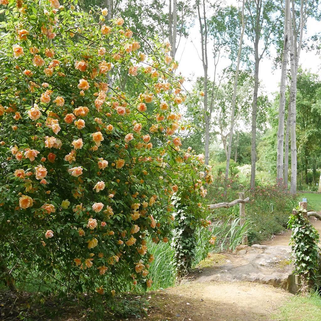 Flânez dans la roseraie de Doué-la-Fontaine