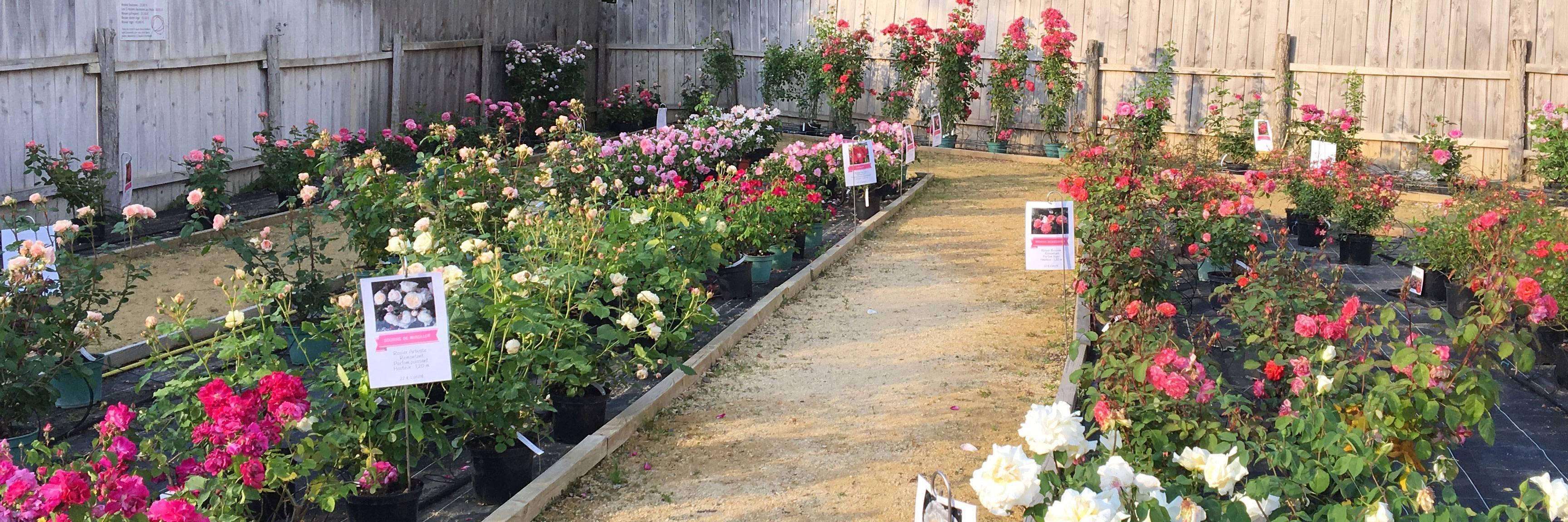 Vente de rosiers à Doué-la-Fontaine